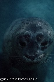 Harbor seal (close-up)